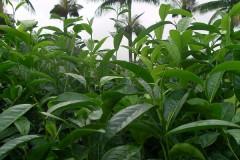 Assamica cultivars