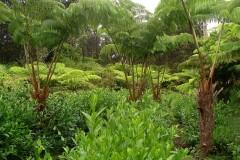 Volcano Tea Garden1