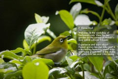 Tea Bird Japanese white eye
